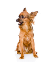 Russian toy terrier sitting in front. isolated on white