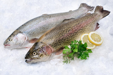 Rainbow trout  on ice