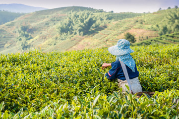 Gathering of tea of a grade of Puer