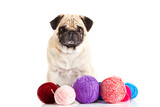 pug dog thread balls isolated on white background doctor