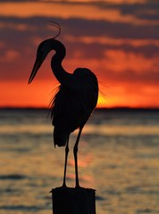 Heron Silhouette at Sunset
