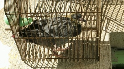 young pigeon in a birdcage