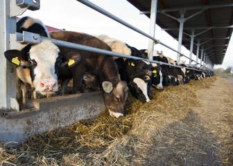 Cows feeding on modern dairy farm