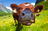 Norwegian cow - Fine Art prints