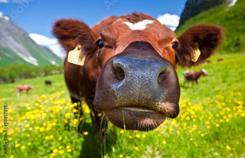 Staande foto Scandinavië Norwegian cow