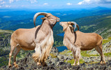 Pair of  barbary sheeps in wildness area