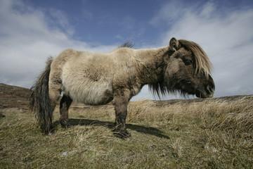 Eriskay pony