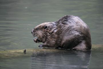 European beaver,  Castor fiber