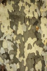 Platane , Platanus x acerifolia , Ecorce