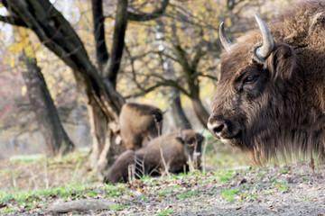 European bison (Bison bonasus) graze in the wild