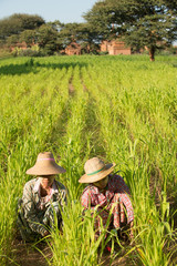 Myanmar Asian traditional farmer planting, harvesting in field