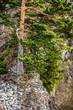 Mountain pine tree in autumn season, Tatry Mountains, Poland