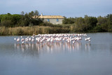 Flock of Flamingos in Nature Park of the Camargue, France