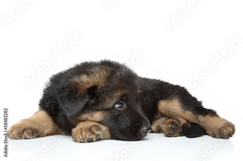 German shepherd puppy lying
