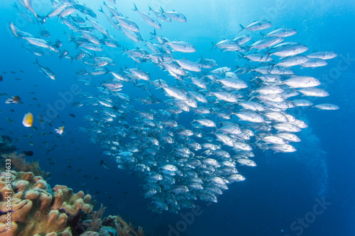 group of jack fish