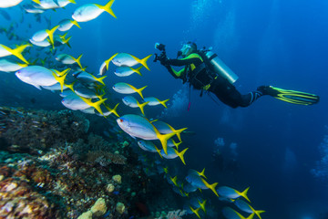 diving with Yellow and Blueback Fusilier