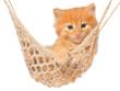 Cute red-haired kitten in hammock.