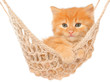 Cute red haired kitten in hammock isolated