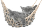 Fototapety Cute gray kitten lying in hammock