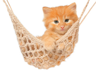 Cute red-haired kitten in hammock.