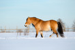 Horse walking on snow field in wintertime