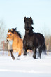 Two horses run in winter gallop fast
