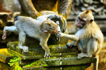 Monkeys in a stone temple. Bali Island, Indonesia