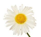 Gentle head of camomile in water drops poster