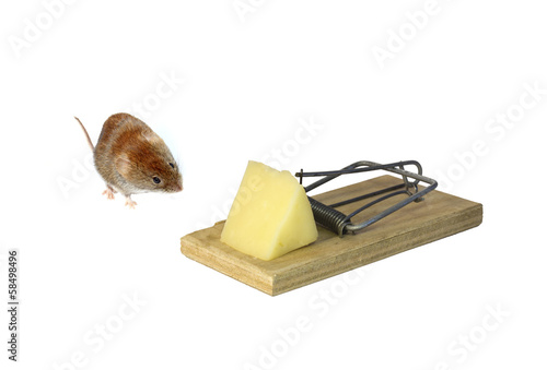 Little brown mouse next to mousetrap with a piece of cheese isol