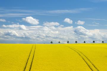 Canola Field and Romantic Sky