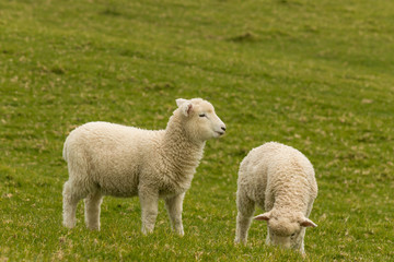 two young lambs grazing