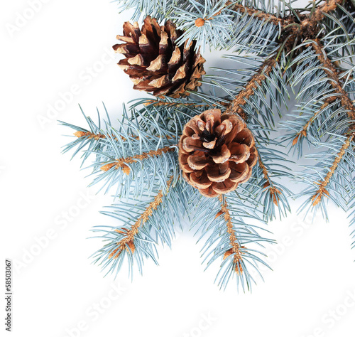 Beautiful pine cones isolated on white