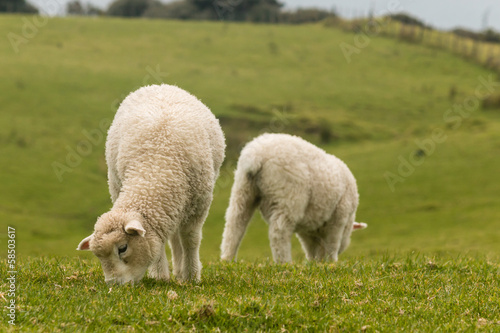 pair of grazing lambs