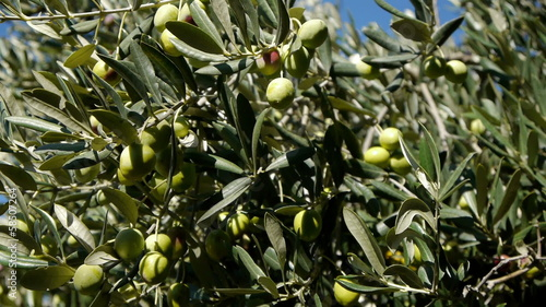 Motion view of ripe olives on tree with blue sky background