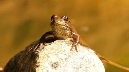 Frog on a rock. Closeup. Ontario.