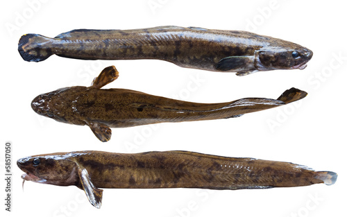 Night freshwater predator burbot on white background