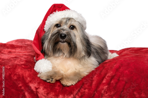 Cute Christmas Havanese dog with a Santa hat is lying on a red b