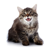 Striped fluffy mewing kitten poster