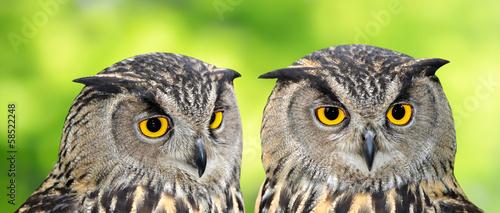 Foto op Canvas Uil Eagle Owl, Bubo bubo