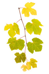 Grape branch with yellow and green leaves