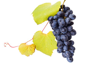 Single blue grape cluster with leaves