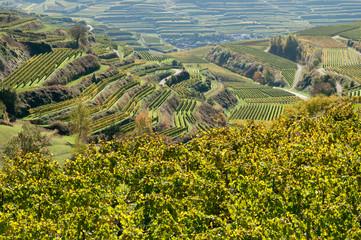 Weinanbau am Kaiserstuhl 1