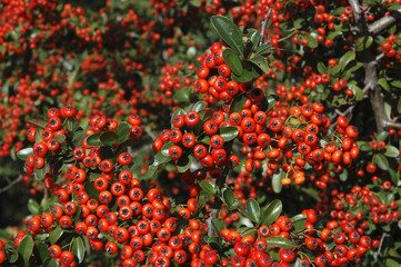 Pyracantha, Buisson argent Saphyr rouge Cadou