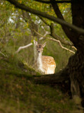 Female fallow deer (Dama dama) in the Waterleidingduinen