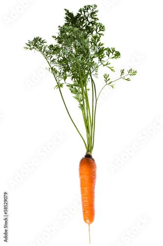 Plant carrots