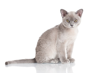 burmese kitten on white
