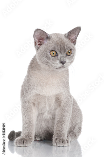 serious burmese kitten on white