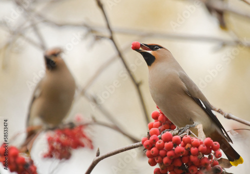Waxwings with berry of mountain ash on branch