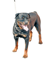Young Rottweiler on white