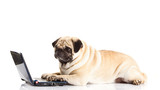pug dog computer isolated on white background